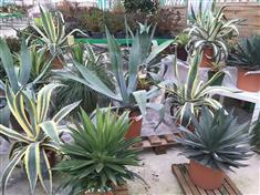 Quelques Agaves